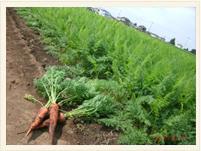 長谷川病院 契約農家で穫れる野菜です。