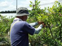 契約農家の宮内農園でブルーベリーの収穫